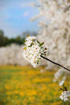 Cherry Blossom, Cherry, Cherry Tree, Branch, Spring