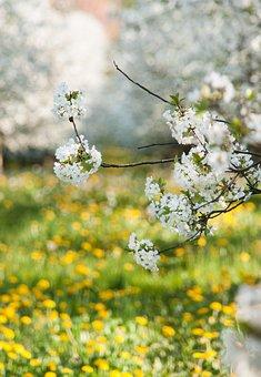 Cherry Blossom, Cherry, Cherry Tree