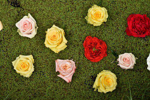 Roses, Green, Rose, Flowers, Nature, Pink, Floral