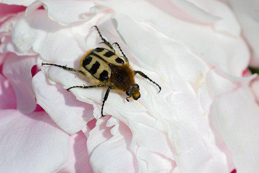 Brush Beetle, Trichius, Peony, Insect, Blossom, Bloom