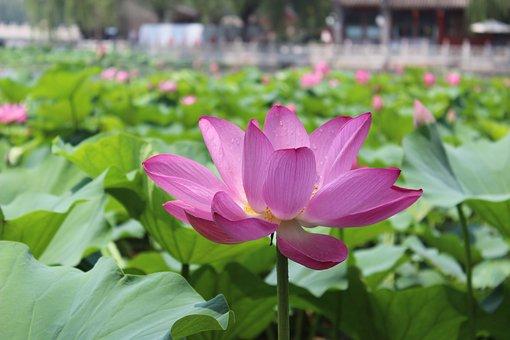 Flower, Lotus, Water Lily, Summer, Beihai Park, Beijing