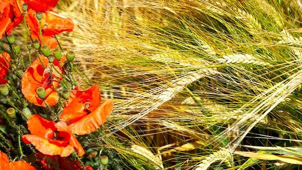 Poppy, Poppy Flower, Cereals, Field