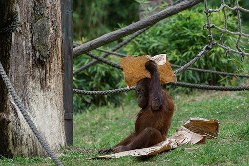 Orang Utan, Ape, Monkey, Primate