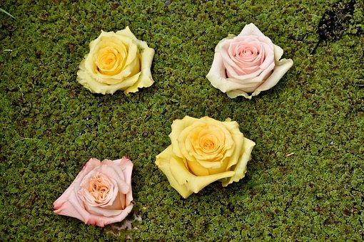 Roses, Green, Nature, Rose, Pink, Floral, Bloom
