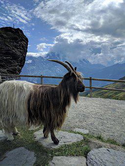 Switzerland, Grindlewald, Sheep, Goat, Animal, Mountain