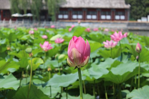 Flower, Blossom, Lotus, Water Lily, Lotus Pond, Summer