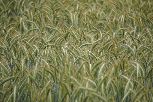 Wheat, Triticale, Cereals, Field