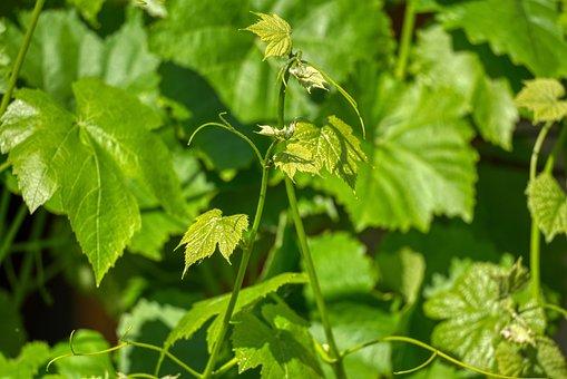 Vine, Vine Leaves, Wine Shoots, Grapevine, Plant, Young