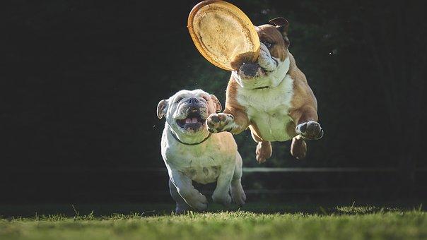 Bulldog, Dog, Stolen, Jump, Animals