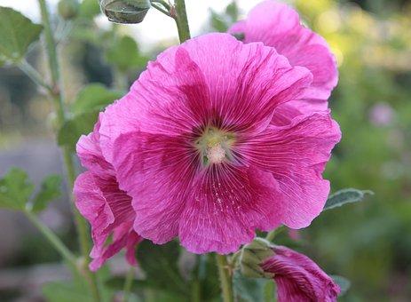 Plant, Flower, Color, Hollyhock, Nature, Spring, Bloom