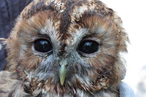 Chouette Hulotte, Strix Aluco, Owl, Bird, Animals, Eyes