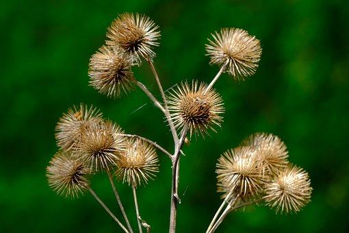 Burdock, Wild Plant, Faded, Nature, Wild Flower