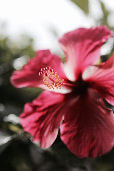 Hibiscus, Hawaii, Bigisland, Flower, Red, Tropics