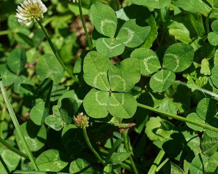 Four-leafed-clover, Clover, Plant, Foliage, Nature
