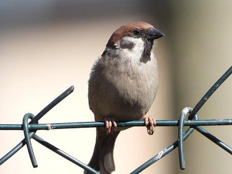 The Sparrow, You Wróblowa, Bird, Spring, Garden