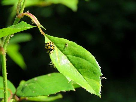 Ladybird, Ladybug, Beetle, Bug, Insect, Lady Bug