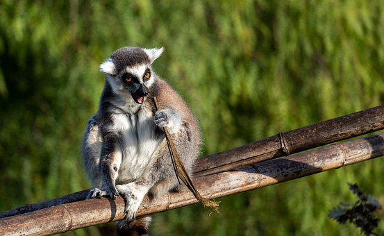 Lemur Catta, Lemurs, Madagascar, Monkey, Animal, Mammal