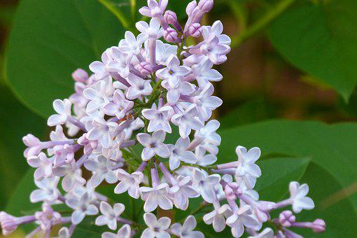 Syringa Vulgaris, Lilac, Pale, Spring, Shrub, Nature