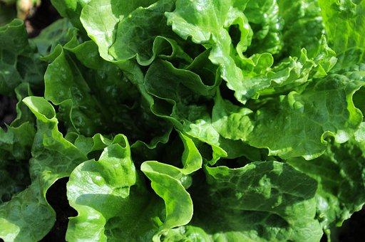 Lettuce, Lettuce Official, Vegetable, Food, Green