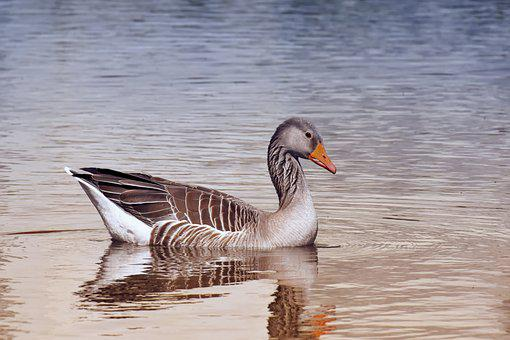 Goose, Wild Bird, Wild Goose, Water Bird, Animal