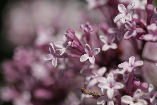 Lilac, Be Vulgaris, Tree, Bush
