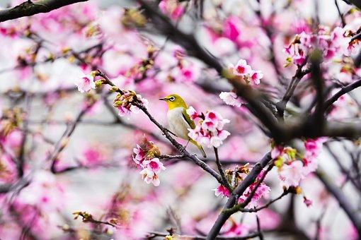 Sakura, Hoa Anh Dao, Cherry Blossom, Bird, Flower, Tree