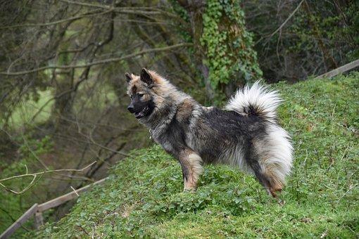 Dog, Dog Stops, Dog Eurasier, Dog Of Pure Breed