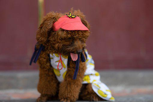 Dog, Cute, Hat, Animal, Funny, Looking, Moment, Small
