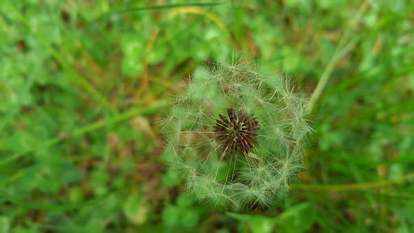 Dandelion, Flower, Nature, Plant, White, Flora, Green