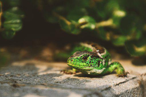 Lizard, Green Lizard, Shedding, Reptile, Reptiles