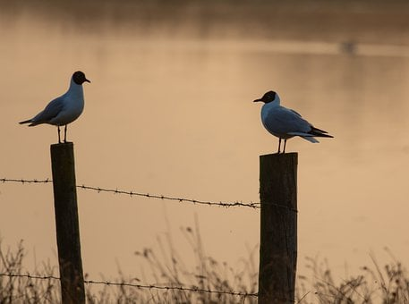 Birds On A Post, Birds, Avian, Perch, Sea Gulls, Wire