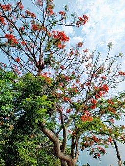 Tree Time, Summer, Flamboyant, Tree, Green, Fresh