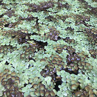 Salviniaceae, Floating Moss, Plant, Water, Leaf, Nature