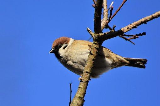 Sparrow, Sperling, Bird, Birdie
