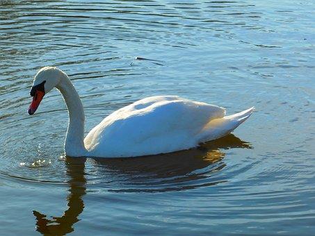 Swan, Water, Just Add Water, Beak, Bird, Swim, Lake