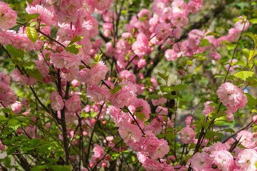 Sakura, Spring, Bloom, Garden, Pink, Botanica, Nature