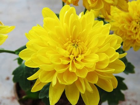 Yellow, Flower, Yellow Flower, Spring, Nature, Blossom