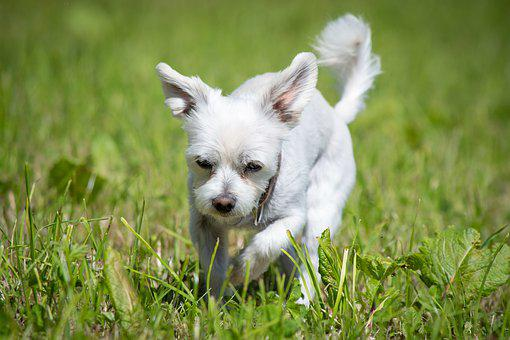 Dog, White, Meadow, Grass, Small Dog, Hybrid, Summer