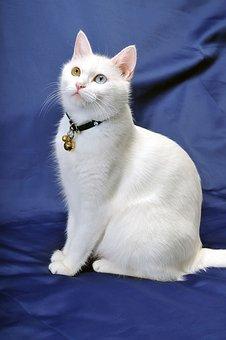 Cat, Van Cat, White Cat, Van Cats, Cyclops Cat, Pet Cat