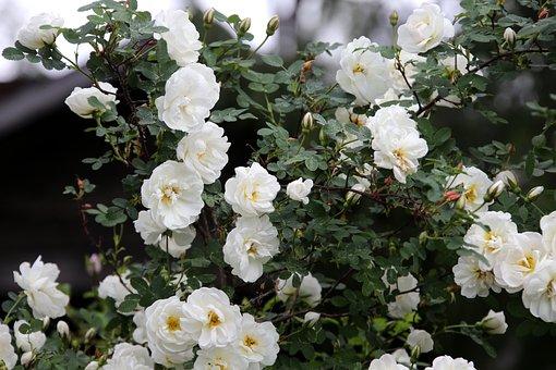 Rose, Midsummer, White, Bush, Yard