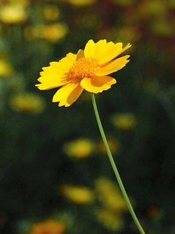 Bride'S Eye, Flower, Yellow