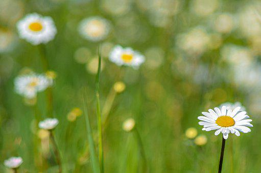 Flower, Nature, Grass, Flowers, Margriet, Daisies