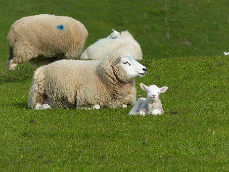 Sheep, Contented Lamb, Wolds Way, Nature, Young, Animal