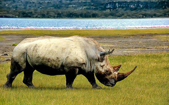 Rhino, Rhinoceros, Animal, Wild