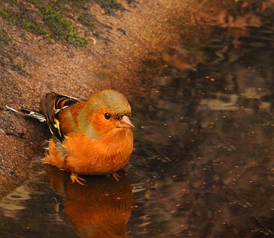 Bird, Yellow, Park, Thirsty, Small, Beauty, Tranquility