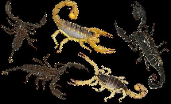 Scorpion, Arthropoda, Poisonous, Tail, Sting, Claw