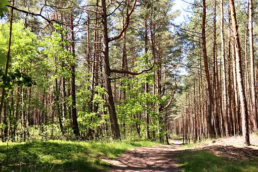 Forest, Tree, Pine, Nature, Green