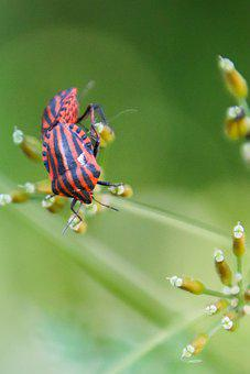 Striped Graphosome, Red, Bugs, Insect, Beetle, Leaf