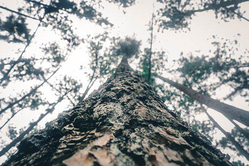 Pinus Tree, Tree, Forest, Nature, Branch