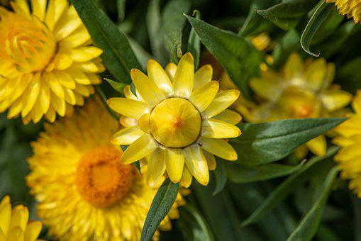 Straw Flowers, Flowers, Yellow, Garden